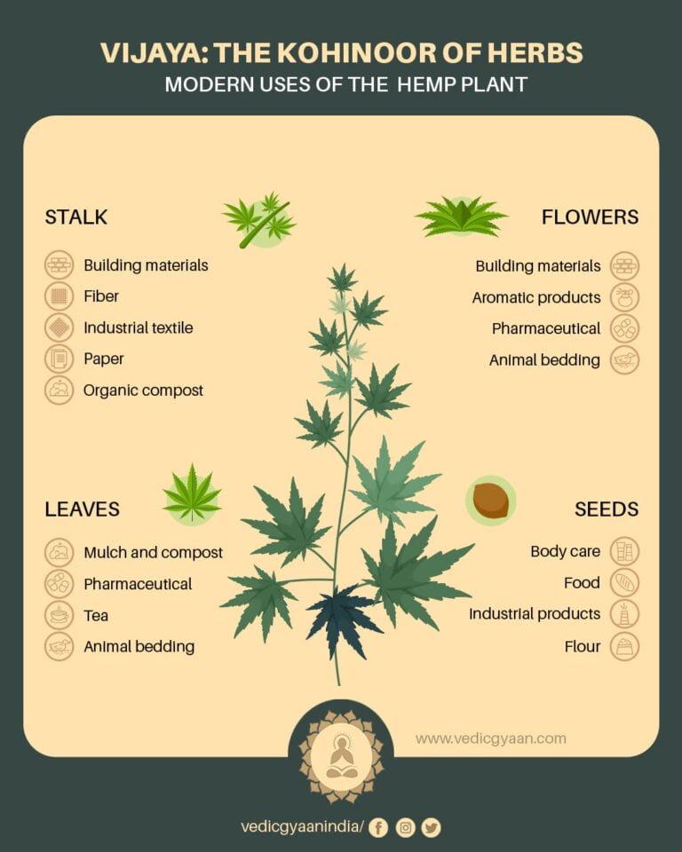 Vijaya: The Kohinoor of the Herbs
